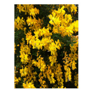 Yellow  Bell flowers -- Native Australian Postcard