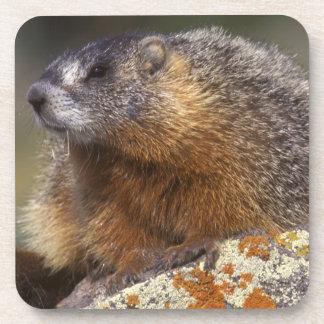 Yellow-bellied Marmot, Yellowstone NP, WY, USA Coaster