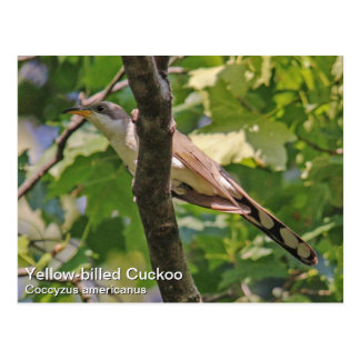 Yellow-billed Cuckoo Postcard
