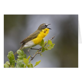 Yellow-breasted Chat (Icteria virens) singing on Card