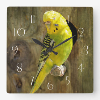 Yellow budgie square wall clock