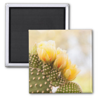 Yellow cactus flowers as they bloom in  Arizona Square Magnet