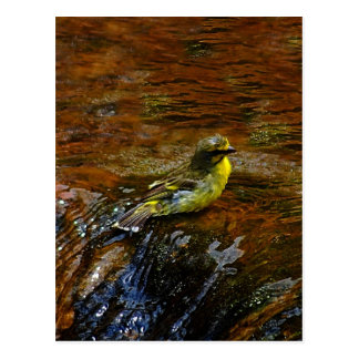 Yellow Canary bird bathing Postcard