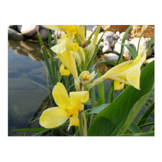 Yellow Canna Lily Flower Postcards