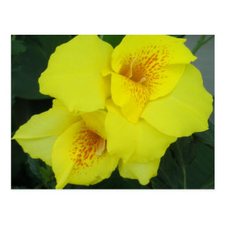 Yellow Cannas Canna Lilies Flower Photo Postcard