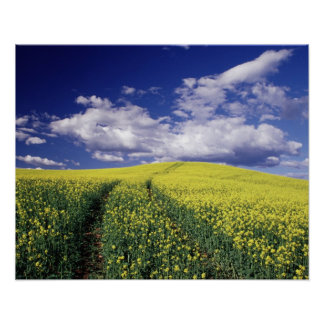Yellow canola in Whitman County Washington state Poster