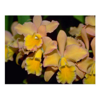 yellow Cattleya flowers Postcard
