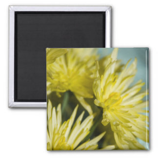 yellow chrysanthemums magnet