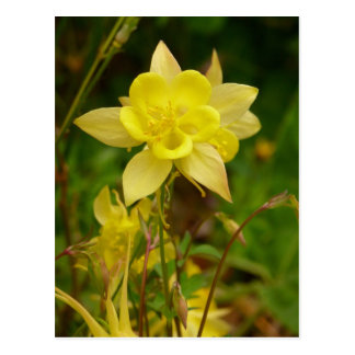 Yellow Columbine Flower Postcard