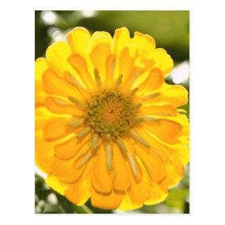 Yellow cosmo postcard