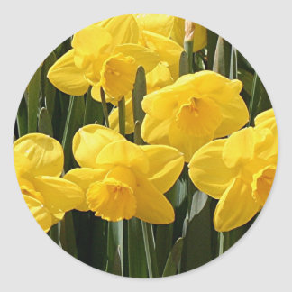 Yellow Daffodil flowers in bloom Round Sticker