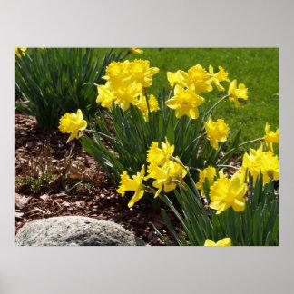 Yellow Daffodils Poster