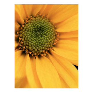 Yellow Daisy Close Up Postcard