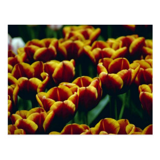yellow Detail Of Newly Developed Tulips flowers Postcard
