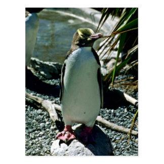 Yellow-eyed Penguin Postcard