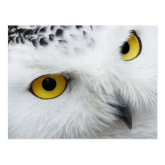 Yellow-eyed Snowy Owl Postcard