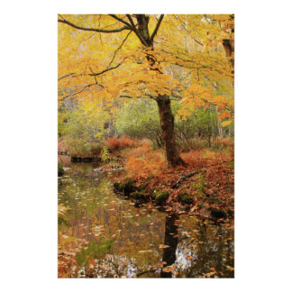 Yellow Fall Folliage over a quiet forest stream Poster