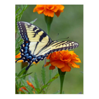Yellow female Eastern Tiger Swallowtail Postcard