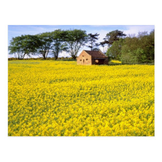 yellow Field of yellow rapeseed in North Yorkshire Postcard