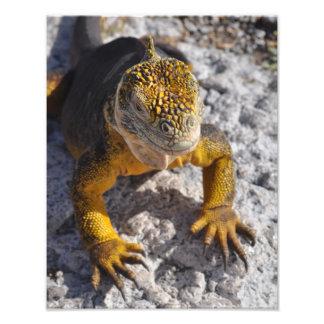Yellow Galapagos land iguana close up poster
