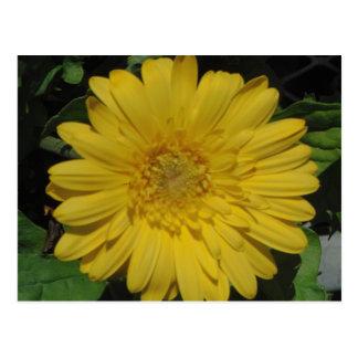 Yellow Gerber / Gerbera Daisy Post Cards