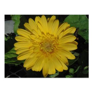 Yellow Gerber / Gerbera Daisy Postcard