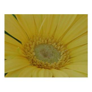 Yellow Gerber /  Gerbera Disiy Postcard