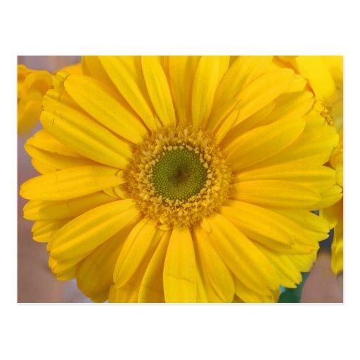 Yellow Gerbera Daisy Postcards