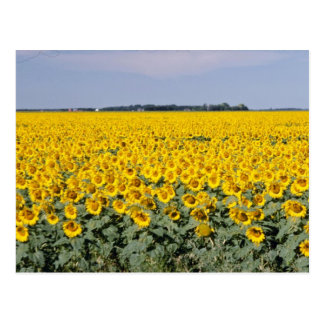 yellow Golden field of sunflowers, Manitoba flower Postcard