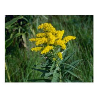 yellow Goldenrod (Solidago Sp.) flowers Postcard