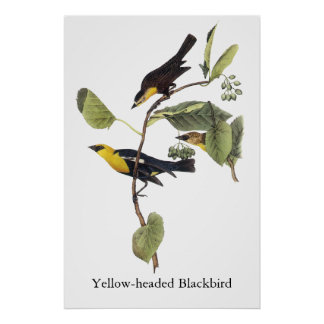 Yellow-headed Blackbird - John Audubon Poster