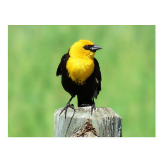 Yellow-headed blackbird postcard