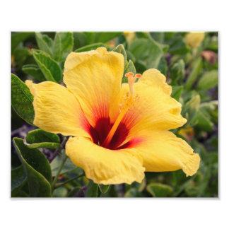 Yellow Hibiscus Flower   Photo Print
