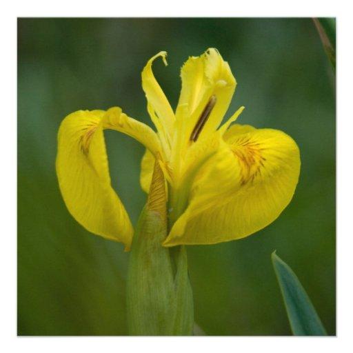 Yellow Iris Custom Announcements