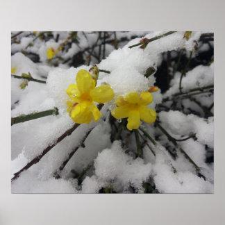 Yellow Jasmine flower in the winter snow Poster