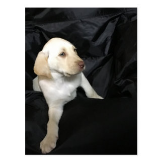 Yellow lab puppy Sadie Postcard