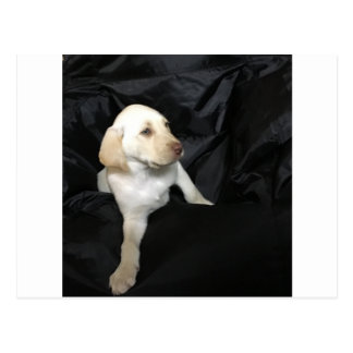 Yellow lab puppy Sadie Postcard