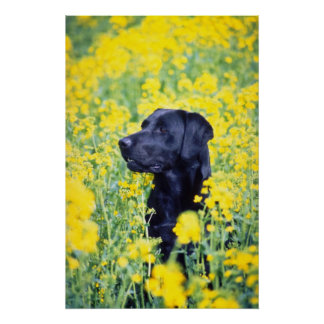 yellow Labrador flowers Poster