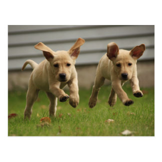 Yellow Labrador Puppies Running Postcard