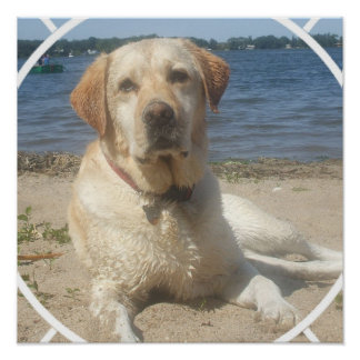 Yellow Labrador Retriever Dog Poster