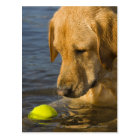 Yellow labrador with a tennis ball in the water postcard