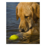 Yellow labrador with a tennis ball in the water poster