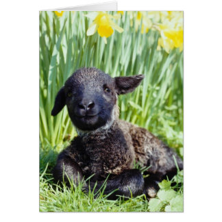 yellow Lamb in springtime, England flowers Card