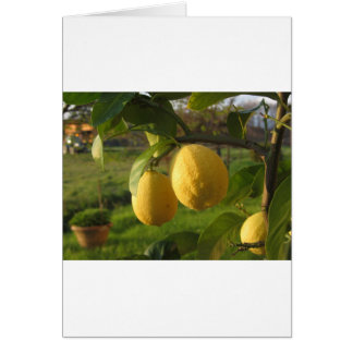 Yellow lemons growing on the tree at sunset card
