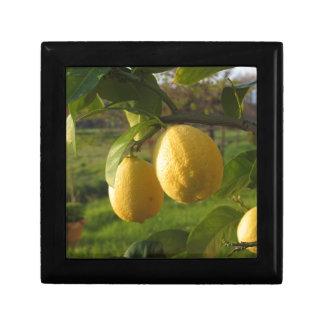 Yellow lemons growing on the tree at sunset gift box