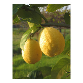 Yellow lemons growing on the tree at sunset letterhead