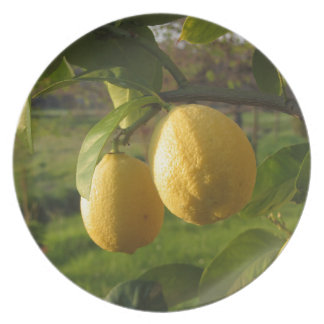 Yellow lemons growing on the tree at sunset plate