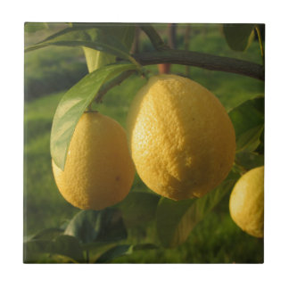 Yellow lemons growing on the tree at sunset tile