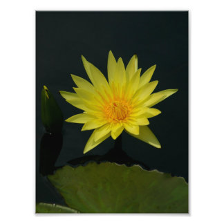 Yellow Lotus Waterlily Photo Print