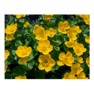 yellow Marsh marigold flowers Postcard